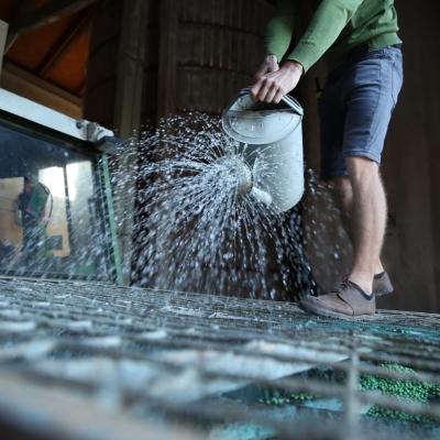 Sojabohnen werden vor der Aussaat mit Knöllchenbakterien beimpft.